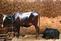 Good News for Farmers! Government Will Start Buying Cow dung from July 20; Check Price and Other Details