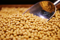 Soybean Prices Likely to Remain Firm in Coming Months; Advise for Farmers