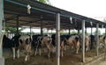 Choosing the right housing for your Dairy Farm