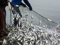 Uttar Pradesh Government to provide millions of jobs to Youth in Fish Farming