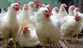 Backyard Poultry Farming; a low input business with high economic returns