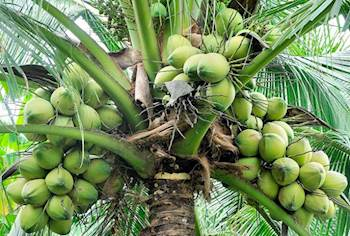 Marico to boost coconut farming