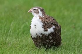 All you need to know about Quail Farming
