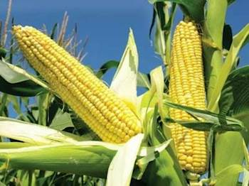 Cargill India to expand corn unit in Karnataka