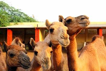 'Tourist hut' launched to promote tourism and Camel Husbandry products