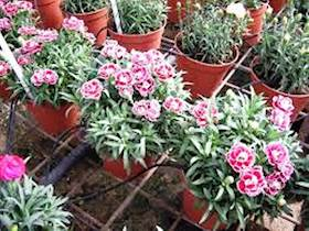 How to do protected cultivation of Carnation