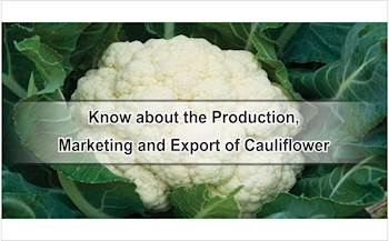 Know about the Production, Marketing and Export of Cauliflower