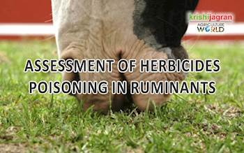 ASSESSMENT OF HERBICIDES POISONING IN RUMINANTS