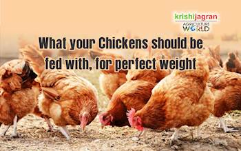 What your Chickens should be fed with, for perfect weight?
