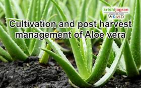 Cultivation and post harvest management of Aloe Vera
