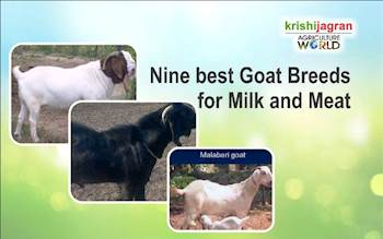 Nine best Goat Breeds for Milk and Meat