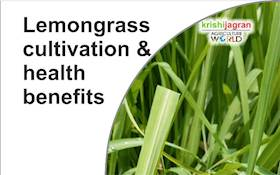 Lemongrass Cultivation & Health Benefits