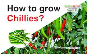 How to grow Chillies?