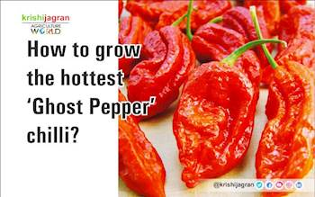 How to grow the hottest 'Ghost Pepper' chilli?