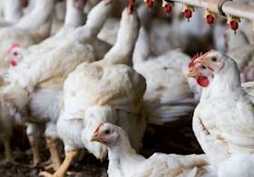 How to start your own Poultry Farm?
