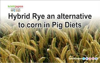 Hybrid Rye an alternative to corn in Pig Diets