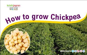 How to grow Chickpea?