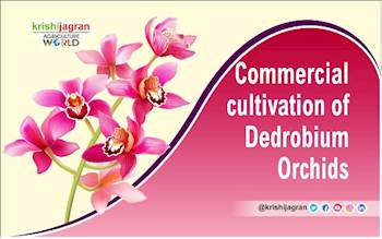 Commercial Cultivation of Dendrobium Orchids