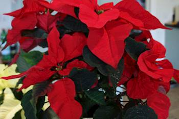 Christmas Houseplants to Decorate Your Home