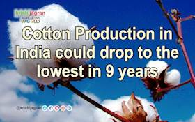 Cotton Production in India could drop to the lowest in 9 years
