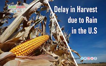 Delay in Harvest due to Rain in the U.S