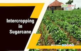Intercropping in Sugarcane