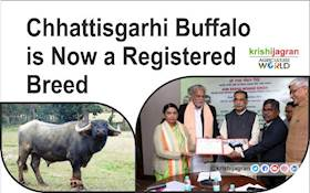 Chhattisgarhi Buffalo is Now a Registered Breed