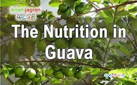 The Nutrition in Guava