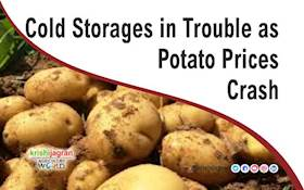 Cold Storages in Trouble as Potato Prices Crash