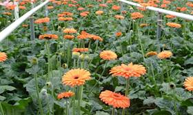 Importance and Scope of Commercial Floriculture