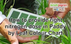 How to provide right nitrogen dose in Paddy by Leaf Colour Chart
