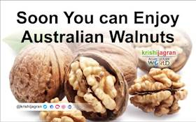 Indian Market will soon have Australian Walnuts