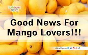 Asian & Germans Can Enjoy a New Variety of Mango from This Summer
