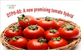 DTPH-60 : New Promising Tomato Hybrid For Cultivation Under Protected Conditions