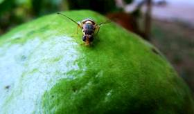 Fruit Fly; a Noxious Pest of Guava Fruit Crops & its Eco-friendly Management