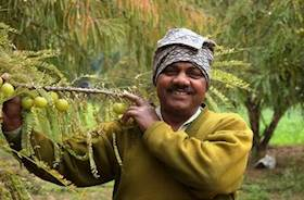 Amla Farming by a-60 year Old Farmer through Rural Entrepreneurship in Rajasthan