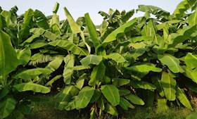 Banana Farming for Enhancing Income and Sustaining Livelihoods