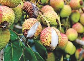 Fruit Drop And Fruit Cracking in Litchi: Causes And Management
