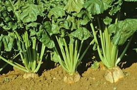 Technologies to Enhance Crop Security of FODDER BEET, a High Yielding Green Fodder Crop Gaining Popularity in Arid Regions