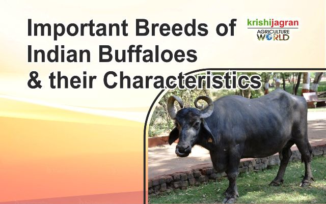 Important Breeds of Indian Buffaloes and their Characteristics