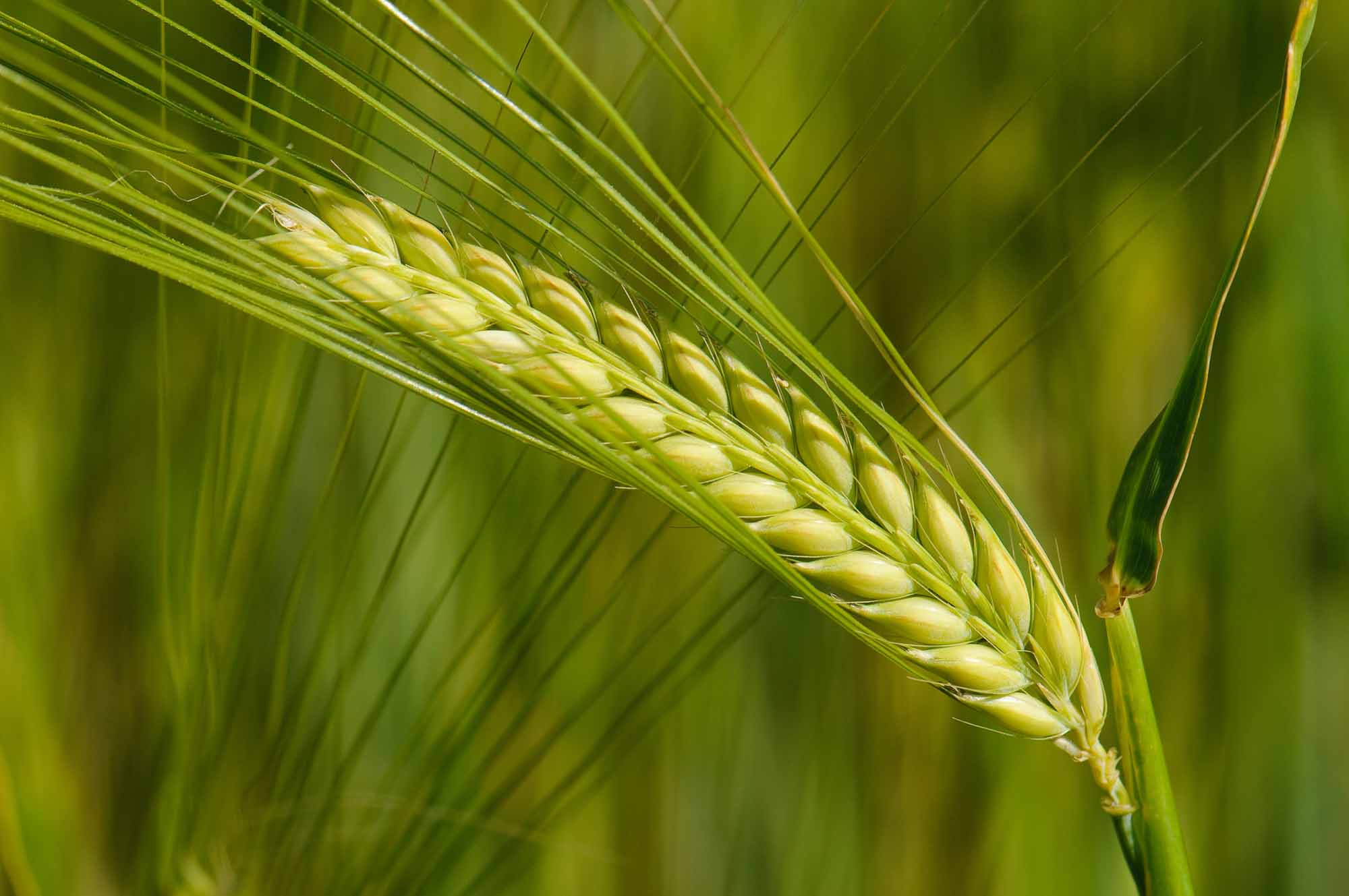 Genome Of Barley Sequenced