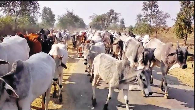 Image result for cows in aligarh schools and hospital