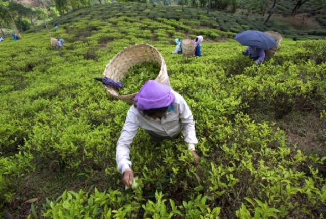 tea growers
