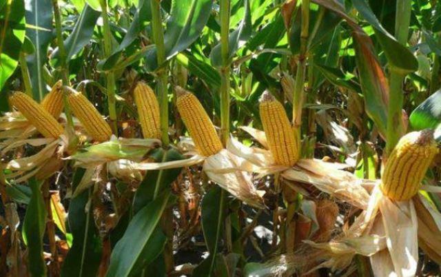 maize feed