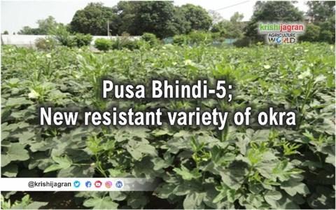 Pusa Bhindi-5: New Bhindi Yellow Vein Mosaic Virus (YVMV) Resistant Variety of Okra