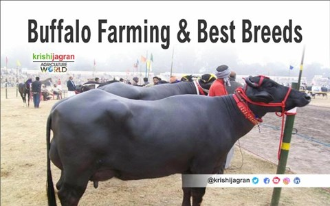 All About Buffalo Farming; Different Breeds and their Details
