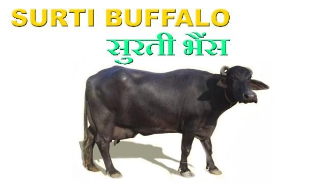 Surti