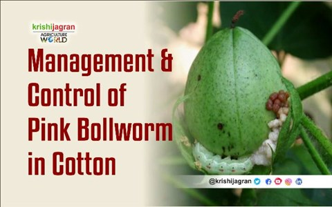 How to Control the Pink Bollworm in Cotton Crop?