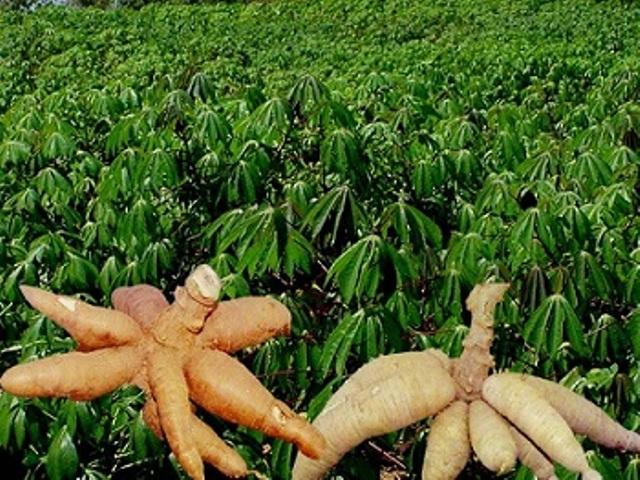 cassavatuber