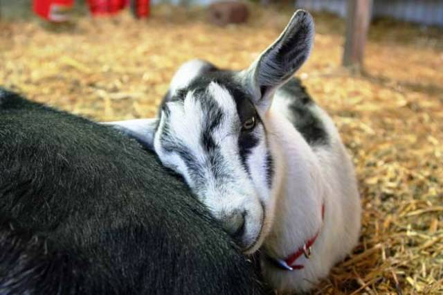 How to treat Bacterial Diseases in GOAT